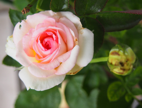 rose074.jpg
